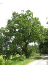 The white or pubescent oak